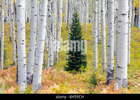 Spruce tree amongst yellow aspen grove as the aspen leaves turn from green to yellow in the Autumn Fall foliage - Stock Photo