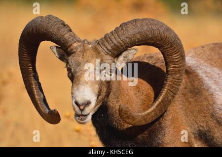 European mouflon in the field in autumn. - Stock Photo