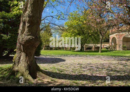 Pink Cherry Tree in The Valley Gardens,Harrogate,North Yorkshire,England,UK. - Stock Photo