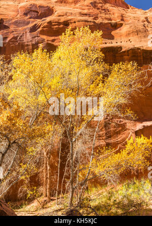 Cottonwood Trees in full Autumn color in Neon Canyon, Grand Staircase Escalante National Monument, Utah. - Stock Photo