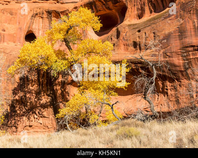 Cottonwood Trees in full Autumn color against the red rock cliffs and caves of Neon Canyon, Grand Staircase Escalante - Stock Photo