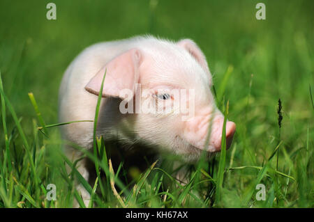 Small piglet on a green grass - Stock Photo