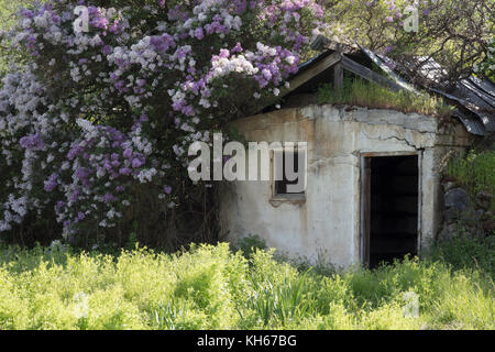 Old derelict building surrounded by flowers near Palouse region of Washington State America - Stock Photo
