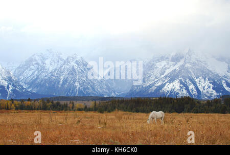 White Horse Grazing in Front of Grand Teton Mountains - Stock Photo