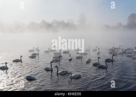 Swans swim in the fog on the ice-lake in the morning sun in winter - Stock Photo