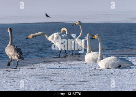 Young swans walk on the snow on shore of the lake in winter sunny day - Stock Photo