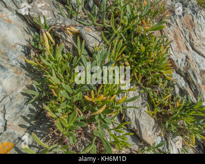 Example of Rock Samphire / Crithmum maritimum growing wild. Samphire is foraged from the wild and pickled for kitchen - Stock Photo