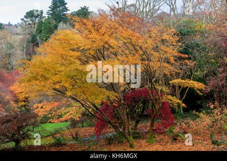 Golden autumn foliage colour of the hardy deciduous Japanese maple, Acer palmatum 'Villa Taranto' - Stock Photo
