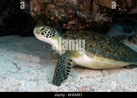 Green Sea Turtle Florida Keys National Marine Sanctuary off Key Largo FL - Stock Photo