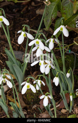 Green marked white flowers of the late Autumn flowering snowdrop, Galanthus elwesii var. monostictus - Stock Photo
