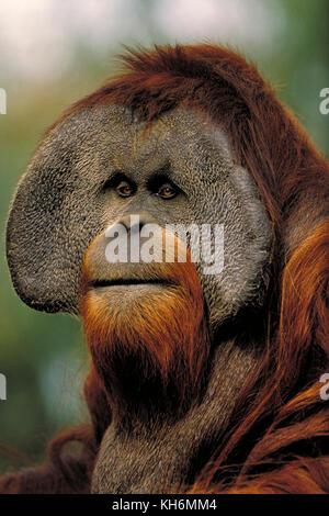Sumatran Orangutan, Pongo abelii, endangered species, critically endangered, male - Stock Photo