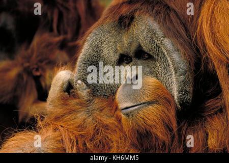 Sumatran Orangutan, Pongo abelii, male. Critically endangered species - Stock Photo