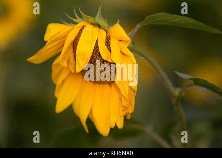 verwelkte Sonnenblume - Stock Photo