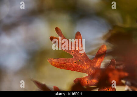 closeup of an oak leaf in Fall color at a park in York County, Pennsylvania, USA - Stock Photo
