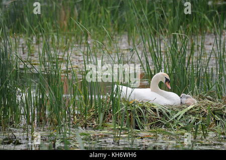 Family of swans with newborn babies nests at Confluence district, Lyon, France - Stock Photo
