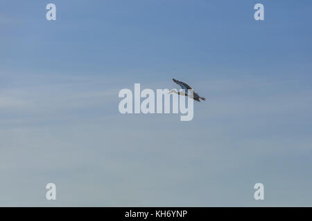 Single white stork is flying straight and in the blue sky. View from the point that higher than the stork. - Stock Photo