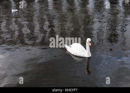 Travel to Germany - white swan floats on Binnenalster (Inner Alster Lake) in Hamburg city in september - Stock Photo