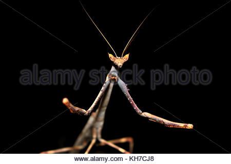 African Giant Stick Mantis (Heterochaeta orientalis) at night - Stock Photo