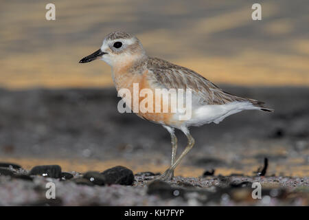 New Zealand dotterel - Stock Photo