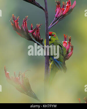 Red-fronted Parakeet on Phormium - Stock Photo