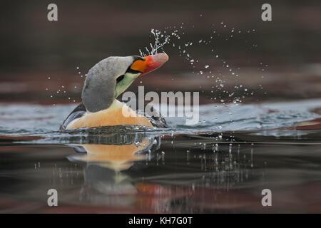 King eider dripping water - Stock Photo