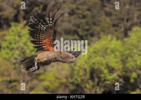 Flying kea - Stock Photo