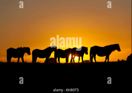 Builth Wells, Powys, Wales, UK. 16th Nov, 2017. UK Weather. Welsh ponies are seen at sunset on the Mynydd Epynt - Stock Photo