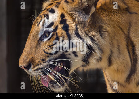 Royal Bengal Tiger in close up view. The Bengal Tiger is one of the most endangered species in the world. - Stock Photo