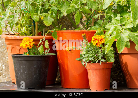 Close up of cherry tomato plants growing in pots with french marigold flowers to deter/repel garden pests aphids, - Stock Photo