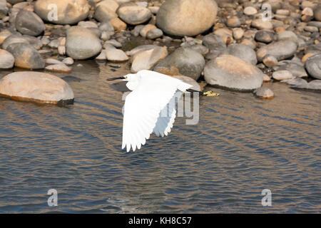 Little egret (Egretta garzetta) bird in flight in Gaomei Wetlands, Qingshui District, Taichung City, Taiwan - Stock Photo