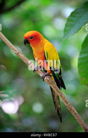 Sun conure (Aratinga solstitialis), adult on branch, captive, occurrence South America - Stock Photo