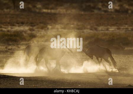 Gemsboks (Oryx gazella), nervous and raising lots of dust in the early morning, Kalahari Desert, Kgalagadi Transfrontier - Stock Photo