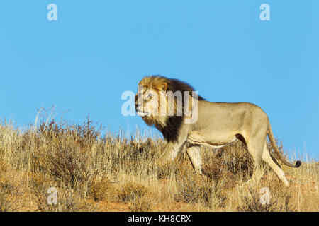 Black-maned Lion (Panthera leo vernayi), male, roaming on a grass-grown sand dune, Kalahari Desert, Kgalagadi Transfrontier - Stock Photo