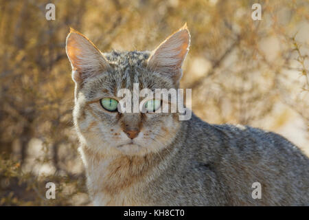 African Wild Cat (Felis silvestris lybica), portrait, Kalahari Desert, Kgalagadi Transfrontier Park, South Africa - Stock Photo