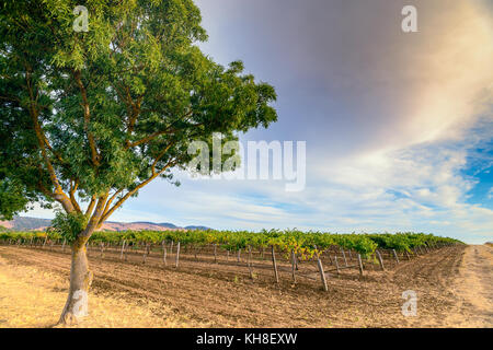 Grape vines with tree  in Barossa valley at sunset, South Australia - Stock Photo