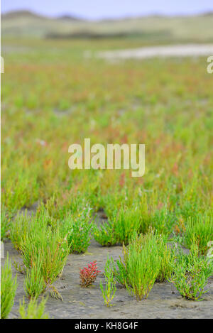 samphire growing in sand at the island Texel, The Netherlands - Stock Photo