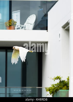 A Goffin Cockatoo flies past residential apartment balconies at Cape Byron Bay, New South Wales, Australia. - Stock Photo