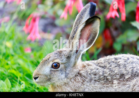 European Hare (Lepus Europaeus) Close-up. - Stock Photo