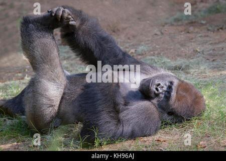 Western lowland gorilla - Stock Photo