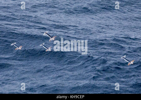 Little known flying squid take off from the water by jet propulsion to escape predation in the middle of the Atlantic - Stock Photo