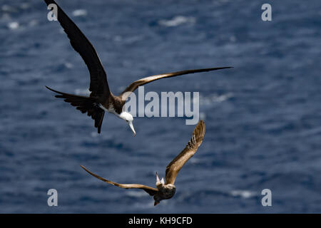 A juvenile magnificent frigatebird battles with a red-footed booby over a flying fish in the middle of the Atlantic - Stock Photo