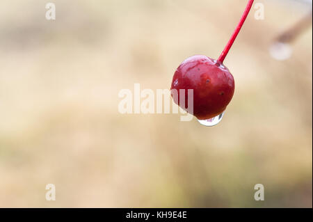 Raindrop on the fruit of Crabapple, Malus or Wild apple, tree on a rainy autumn morning - Stock Photo