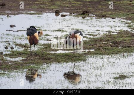 A pair of preening Grey Crowned-Cranes (Balearica regulorum) - Stock Photo