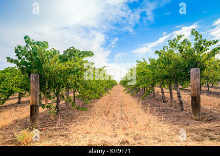 Grape vines with hay field in Barossa valley, South Australia - Stock Photo