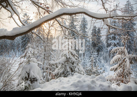 Branch of beech tree (Fagus sylvatica) laden with snow after snowfall in mixed forest in winter - Stock Photo