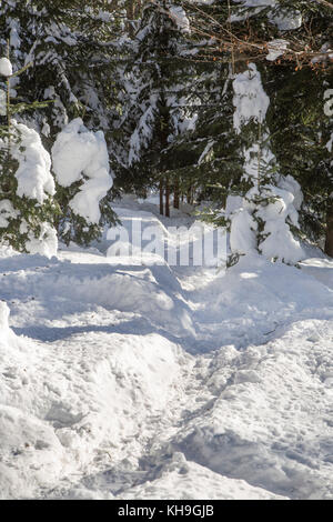 Wildlife track running through the snow in spruce forest in winter - Stock Photo