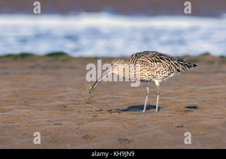 Eurasina Curlew feeding on mud flats and catching a small crab in its bill. - Stock Photo