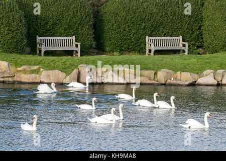 A bevy of swans on Marine Lake in Southport, Merseyside. - Stock Photo