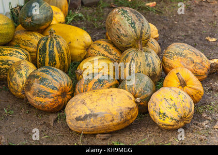 pumpkins stacked on the farm, Many piles of yellow pumpkins on the field - Stock Photo