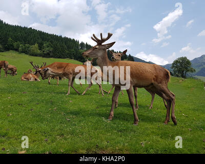 Rothirsch, Cervus elaphus, Rotwild - Stock Photo